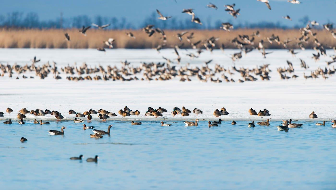 Am Zicksee tummeln sich im Winter wahre Vogelscharen.