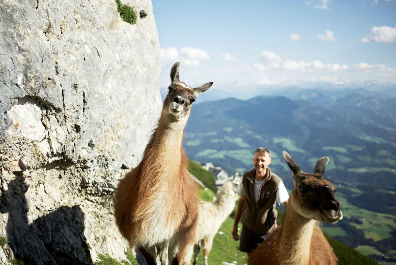 Die Haustiere der Hütte sind drei eigenwillige Lamas. Sie dürfen den ganzen Sommer über frei herumlaufen.