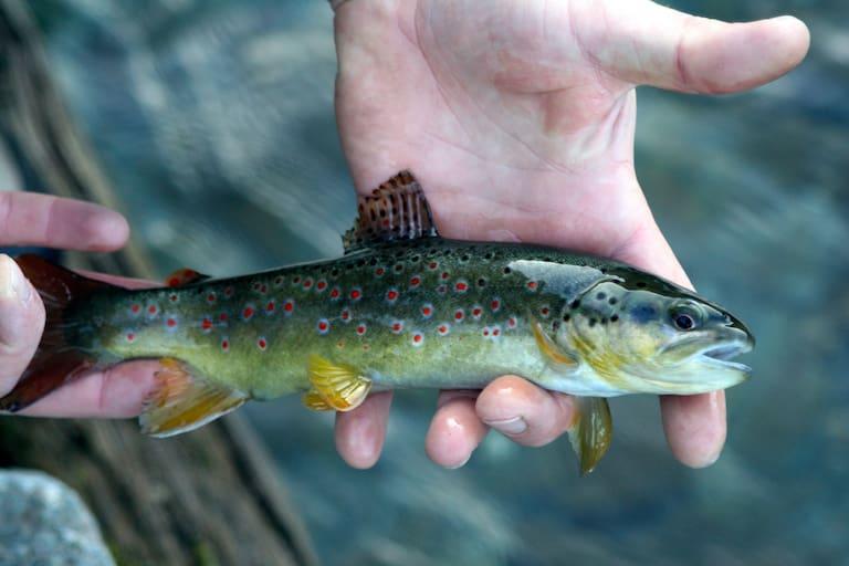 Bachforelle Fliegenfischen Zillertal