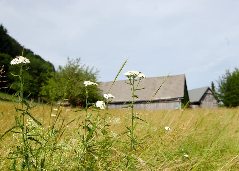 Die Schafgarbe zählt zur Familie der Korbblüter und ist eine beliebte Heilpflanze
