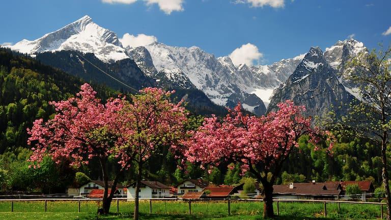 Frühling in den Bergen: Kirschblüte im bayerischen Wettersteingebirge