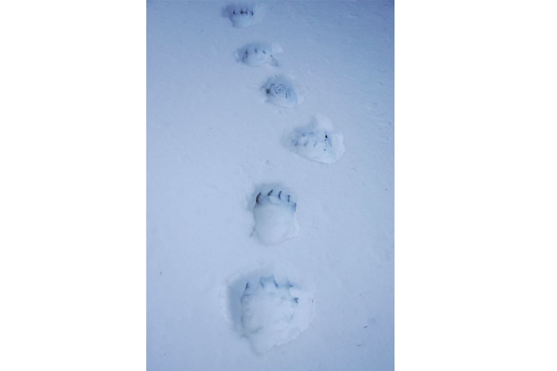 Transsilvanien: Braunbären-Spuren im Schnee