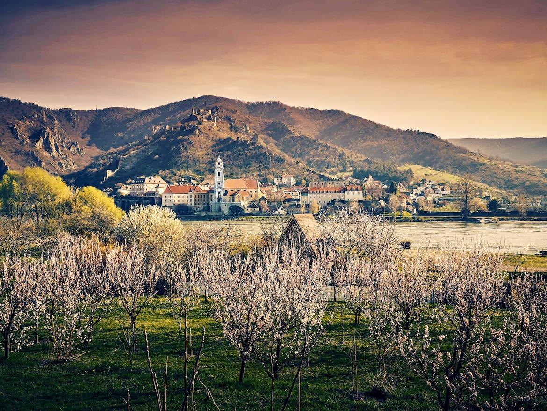 Blühende Marillenbäume vor Dürnstein, dessen blauer Turm das Wahrzeichen der Wachau ist.
