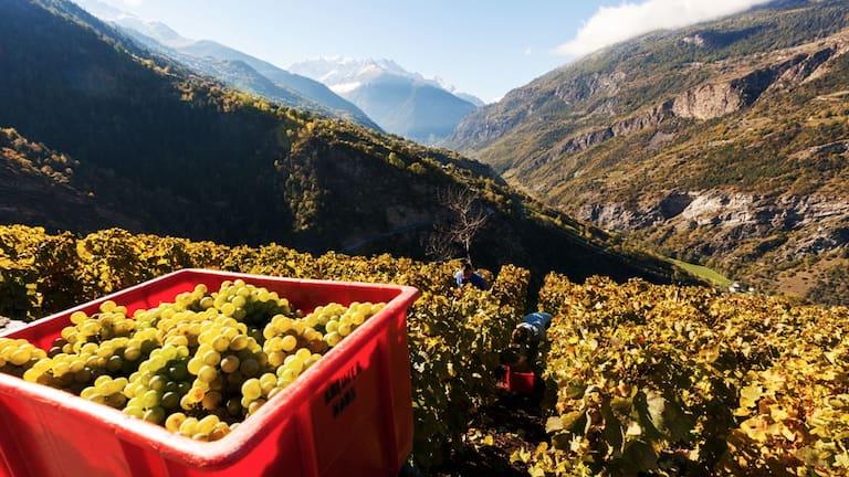 Gspon im Wallis: Europas höchster Weinberg