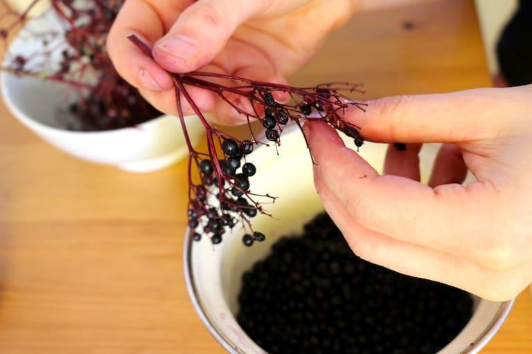 Fein säuberlich werden die reifen Früchte abgezupft