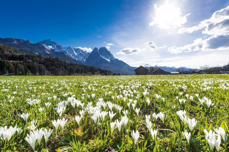 Frühling in Bayern: Krokuswiese bei Garmisch mit Alpspitz und Waxenstein