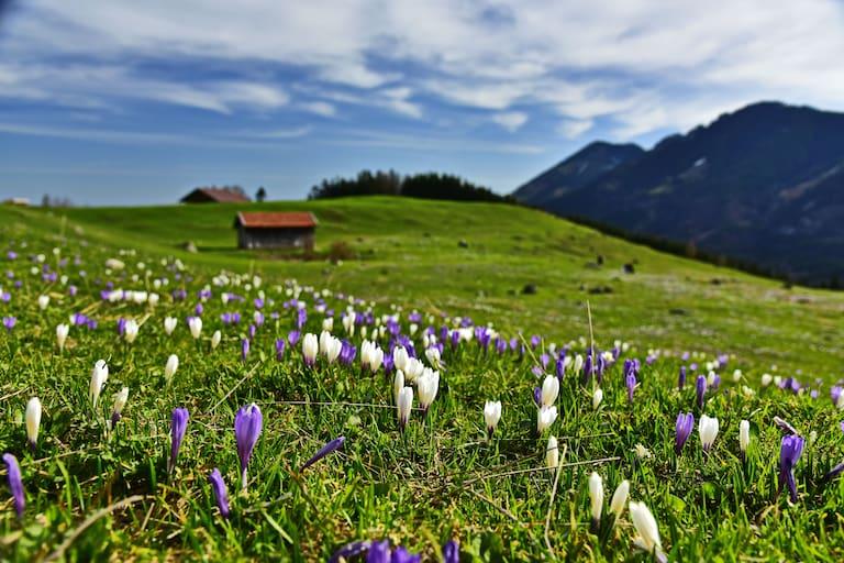 Frühling in den Bergen: Krokuswiese in den Alpen
