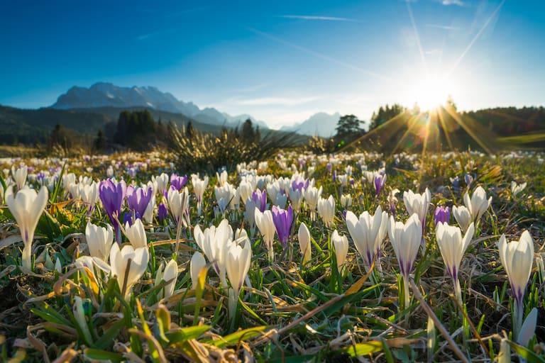 Frühling in Bayern: Krokuswiese bei Krün