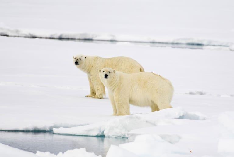 Eisbären Welteisbärentag