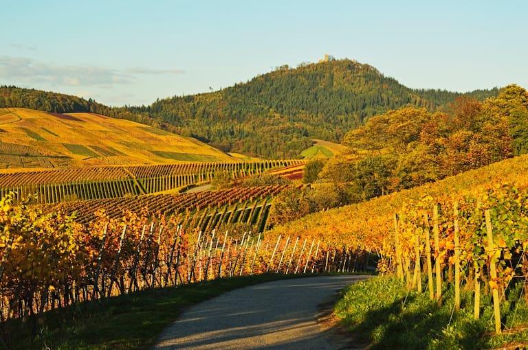Die Weinberge und die Yburg in Baden Württemberg im goldenen Herbst.