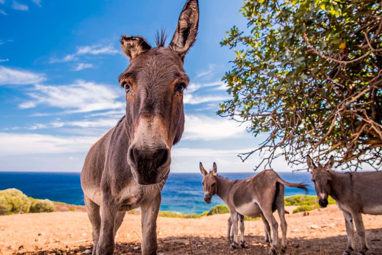 Im Nationalpark Asinara haben die Esel das Sagen.