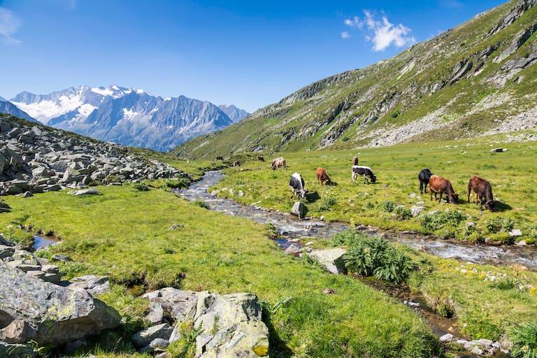 Weidende Kühe am Lapenkarbach in Tirol