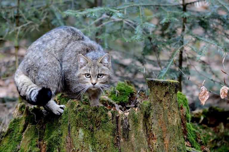 Die Wildkatze ist der Hauskatze sehr ähnlich: Ein typisches Merkmal ist der dicke Schwanz mit nicht verbundenen schwarzen Ringen und schwarzem, stumpfem Ende.
