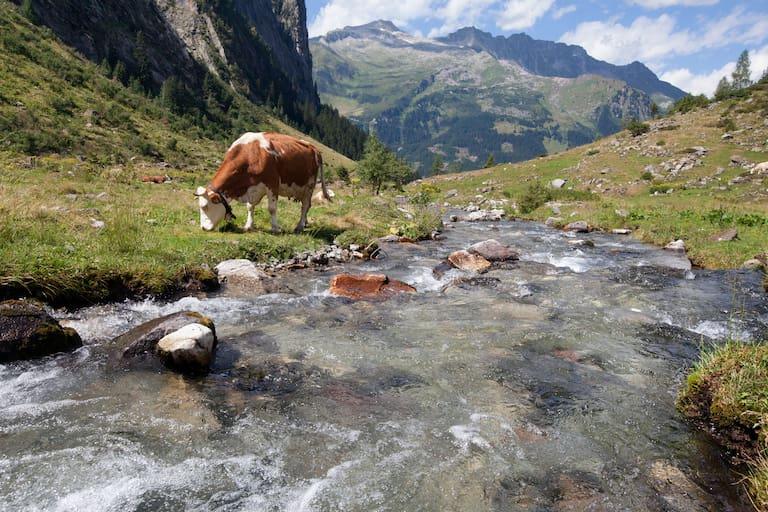 Zillertaler Alpen Kuh Gebirgsbach