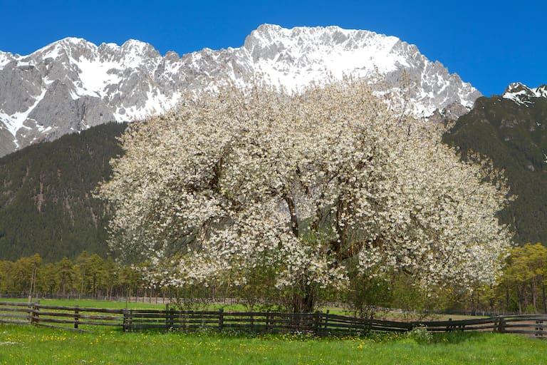 Wetterstein in Tirol Kirschbaum