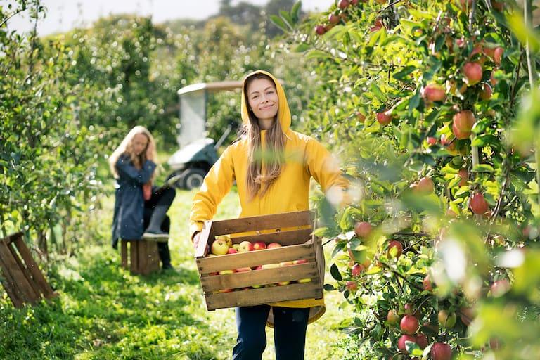Apfelernten entlang des Apfelwegs in Südtirol
