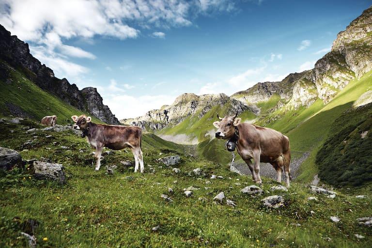 Das Montafoner Braunvieh aus Vorarlberg