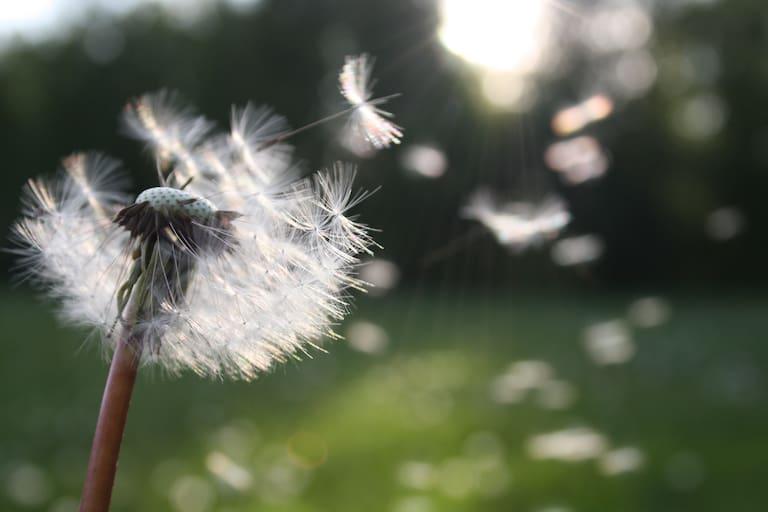 Heuschnupfen: Pollenflug