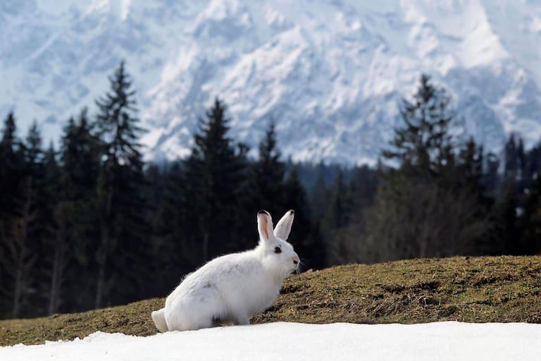 Schneehase vor bayerischem Alpenpanorama