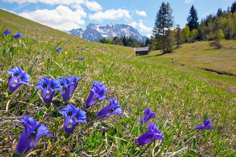 Hütte Blumenwiese Enzian