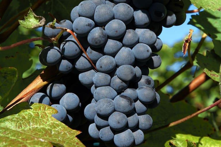 Pinot Noir: Trauben am Cobenzl