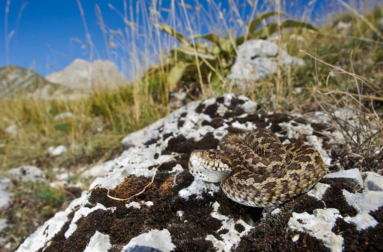 Ein ausgewachsenes Exemplar der Wiesenotter (Vipera ursinii) sitzt auf einem Felsen und sonnt sich im Gran-Sasso-Nationalpark in den Abruzzen, Italien