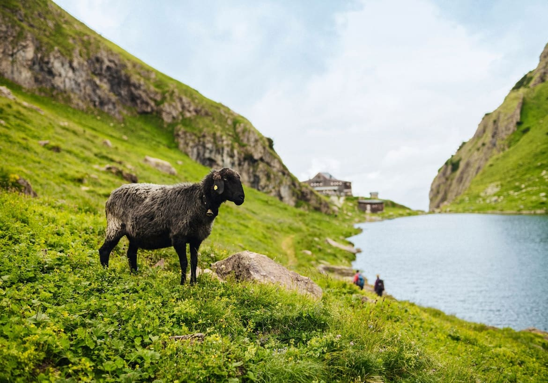Ein Schaf auf der Almwiese, im Hintergrund sind der See und die Hütte zu erkennen